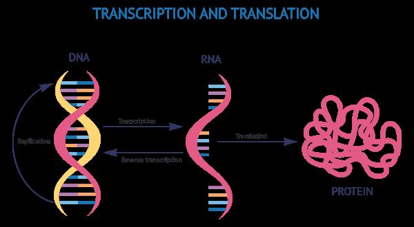 construccion-proteinas-transcripcion-y-traduccion-del-ADN